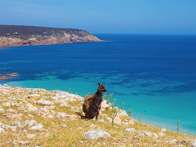 """Nestled off the coast of South Australia, Kangaroo Island is the perfect destination to disconnect and get back to nature and enjoy the """"real Australia"""". Home to plenty of local wildlife, from sea lions, to penguins, echidnas and koalas, Kangaroo Island has a range of budget, mid-range and luxury accommodation options on offer."""