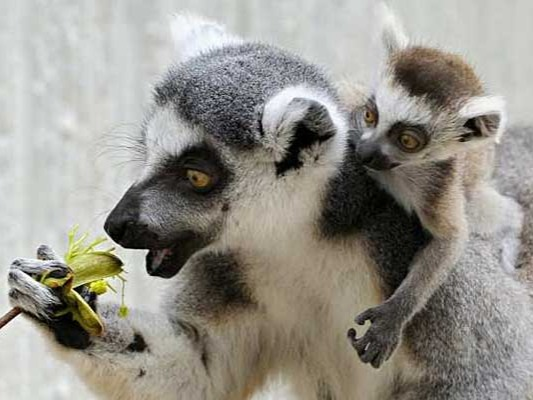 These animals have become very popular. Most of them live in Madagascar, where it has been illegal to kill, to store or to export lemurs as pets since 1964.One of the reasons we should not have these animals as pets is because they are a species considered indanger of extinction, being guilty the man, for deforesting the trees in which they live or for hunting them directly.