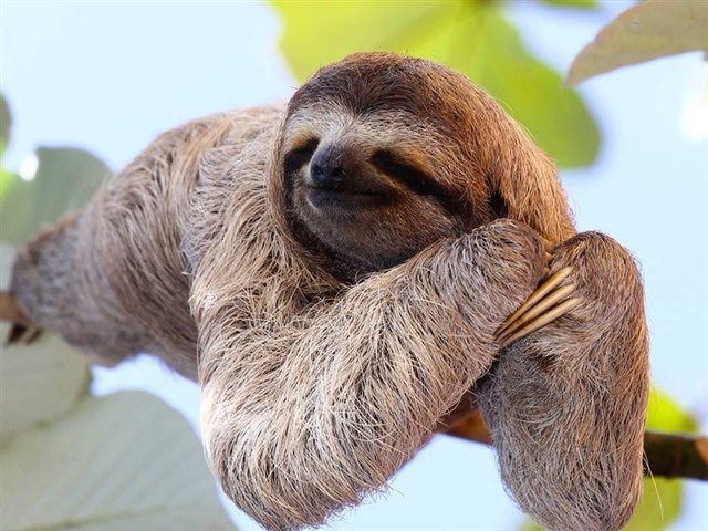 The sloths look like cute bears. They live between 30 and 40 years and love to move slowly between the branches.Although having these animals as pets is a temptation given its beauty, we must remember that sloths are indanger of extinction.Today, there are only two species of fifty that had been registered. Their sale is made by animal dealers in different parts of the world, so if you buy one you are contributing to their faster extinction.
