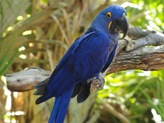Blue Macaws are native from South America. They've become very popular birds as exotic pets behind the animated film Rio, because of their colorful and colorful plumage, their intelligence (they are able to learn and understand up to 30 words), and because they can live for more than 50 years.As for their care, food is very important and must be strictly followed because they are very delicate animal. In addition, it's always recommended to buy a couple so that they don't suffer from depression.But wouldn't it be better to see them flying free, in their natural habitat and find on their own the couple they want