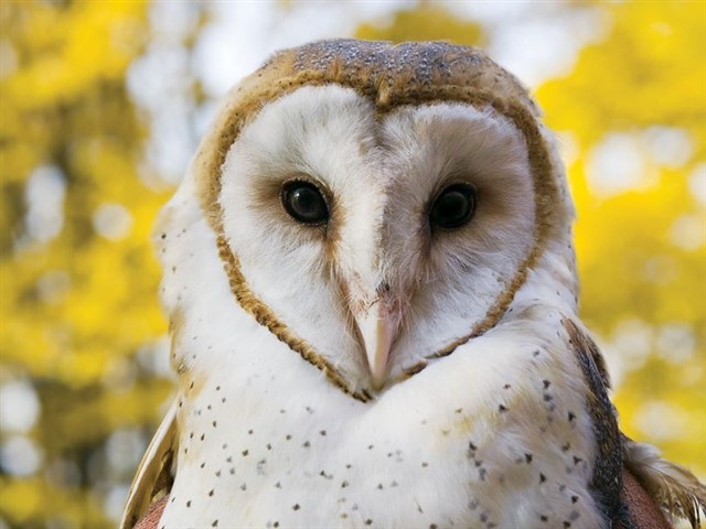 """The owls became popular as pets thanks to the """"Harry Potter"""" saga. Their heart-shaped head and they large eyes make them mysterious animals that captivate us with great ease. However, they are solitary and very territorial animals, also they are predators; the captivity is not made for them.Besides, like all of the above, these animals require very special care to have them in captivity. Having an owl is a lifelong commitment; because a small owl can live for over 20 years but a big one can even live to 50 years.Any animal lover should rule out the possibility of having an owl as a pet. DoNOTcage an animal that needs freedom, the owl is not made to live sad and locked."""