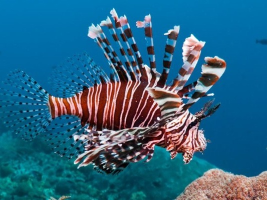 The lionfish is a very dangerous fish especially for divers. It's found in the tropical Indian and Western Pacific Oceans, especially in reefs, where it hides during the day and hunts during the night. It can reach 40 centimeters and weigh up to 1200 grams; but what makes it part of this list of 10 most dangerous fish is that it has a poison gland with a very toxic substance. Contact with a human can cause inflammation, redness, bleeding, muscle aches, cardiovascular problems and breathing problems. Thorns of this species can cause a pain that lasts a few days depending on the amount of poison received.