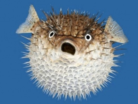 A fish that cannot miss in the list of the 10 most dangerous fish: The popular blowfish. This fish has developed the ability to inflate to defend against predators, so it swims very slow and needs to consume a lot of food daily. It's usually found in tropical and subtropical waters, but also in fresh and brackish waters; although today we are contributing to their disappearance, since the rivers where they live are increasingly contaminated and their food is becoming less and less. The blowfish also has thorns in its body to defend against other species, but that make it a dangerous fish for humans, because the thorns have a substance 1200 times more poisonous than cyanide, even capable of killing 30 people.
