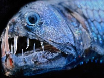 The Viperfish usually lives at depths of up to 2000 meters and uses its bioluminescent organs to hunt preys when sunlight doesn't penetrate the bottom of the sea. It is a dangerous fish, and has a fierce appearance because its lower jaw is endowed with sharp teeth like fangs. It measures about 35 centimeters and scientists have found that it currently occupies a quarter of the oceans.