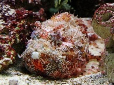 The stonefish couldn't miss in this list of 10 most dangerous fish; although it's a shy and little known fish, it could be even the world's most poisonous one. He lives in the waters of the Pacific and Indian Ocean, and feeds on small fish and crustaceans. But the real danger with this fish is that direct contact with the spines of its fins can be deadly to humans because of the potent poison they contain; and when it camouflages it resembles a rock, making it almost unrecognizable and can be stepped on by accident.There are only five different species of stonefish. Most of them live in the Indian and Pacific oceans. Part of what makes them so dangerous is their ability to camouflage themselves so well.This is a very discrete fish that uses its disguise to catch its prey.