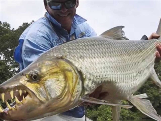 The Goliath tigerfish, as its nickname indicates, is a highly ferocious and fearsome fish. This is the largest member of the tigerfish family, a genus of extremely dangerous fish. In fact, it differs with the piranha in that it's more muscular and its jaw resembles that of a crocodile. It can reach 75 kg in weight and measures about one and a half meters. Besides it's native to the Congo River Basin, but can also be found in many African rivers such as Lualaba and Zambezi. However, it doesn't lead these top 10 because unlike piranha, the Goliath tigerfish is in deep water and may be harder to find.
