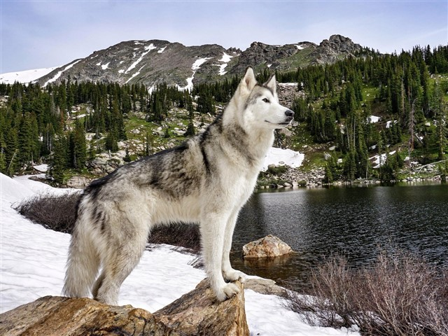 This dog is a hybrid between a german shepherd and a mountain wolf. That combination makes this type of dog very dangerous. They can act as perfectly protective dogs or completely wild beast depending on the situation. They are banned in countries such as Norway.