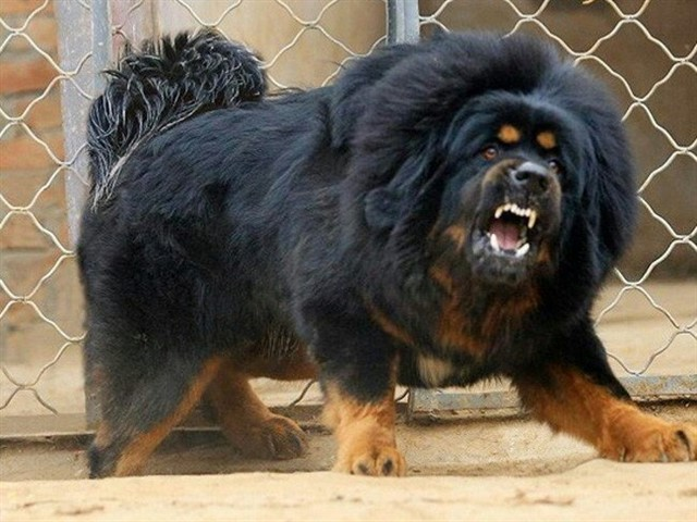 A complete mix of unknown breeds, for one goal only – to create the most dangerous dog breed ever. This dog would be the ultimate guarding dog if it wasn't for its temperement and agressive behaviour. The breed is banned in many countries.