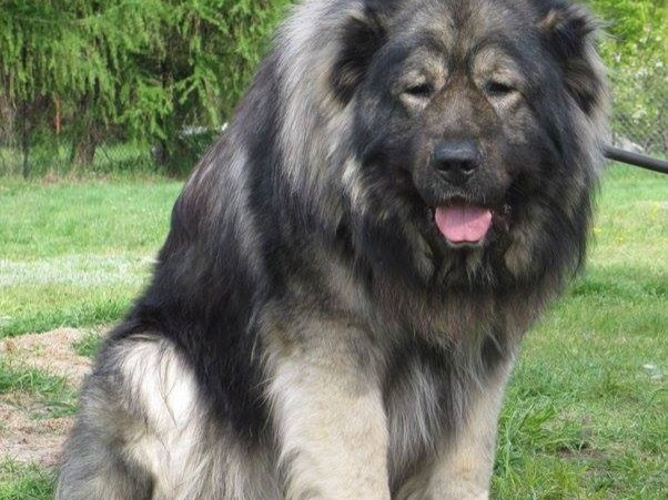 This dog comes originally from russia and has been used in the mountains for centuries to protect farm animals. But would it be able to protect the farms from predators such as wolfs? Answer is : Yes. The Caucasian Shepherd can weigh more than 100 kg ( 220lb) And that is weight in muscles. It's also extremely good at fighting too, no wonder why this breed is so dangerous.
