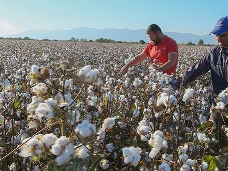 Cotton Production in Thousand Metric Tonnes: 697