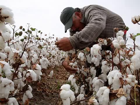 Cotton Production in Thousand Metric Tonnes: 297