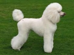 Thepoodleis a group of formaldog breeds, theStandard Poodle,Miniature PoodleandToy Poodle. The origin of the breed is still discussed, with a prominent dispute over whether the poodle descends fromGermanyas atypeofwater dog, or from the FrenchBarbet.[5]Ranked second most intelligent dog breed just behind theBorder Collie,[6]the poodle is skillful in manydog sportsand activities, including agility, obedience, tracking to herding, circus performers orassistance dogs. Poodles have taken top honors in manyconformation shows, including