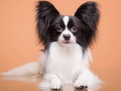 The Papillon (French pronunciation: [papijɔ̃], French for 'butterfly[-eared]'), also called the Continental Toy Spaniel, is a breed of dog, of the spaniel type. One of the oldest of the toy spaniels, it derives its name from its characteristic butterfly-like look of the long and fringed hair on the ears. A Papillon with dropped ears is called a Phalène (French for 'moth'). The small head is slightly rounded between the ears with a well-defined stop. The muzzle is somewhat short and thin, tapering to the nose. The dark, medium-sized, round eyes have thin, black rims, often extending at the junction of the eyelids towards the ears. The large ears can either be erect or dropped with rounded tips. The teeth meet in a scissors bite. The long tail is set high carried over the body, and covered with long, fine hair. Dewclaws are sometimes removed.