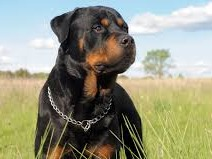 The Rottweiler (/ˈrɒtwaɪlər/, UK also /-vaɪlər/)[1][2] is a breed of domestic dog, regarded as medium-to-large[3][4] or large.[5][6] The dogs were known in German as Rottweiler Metzgerhund, meaning Rottweil butchers' dogs, because their main use was to herd livestock and pull carts laden with butchered meat to market.[3] This continued until the mid-19th century when railways replaced droving. Although still used to herd stock in many parts of the world, Rottweilers are now also used as search and rescue dogs, as guard dogs, and as police dogs.