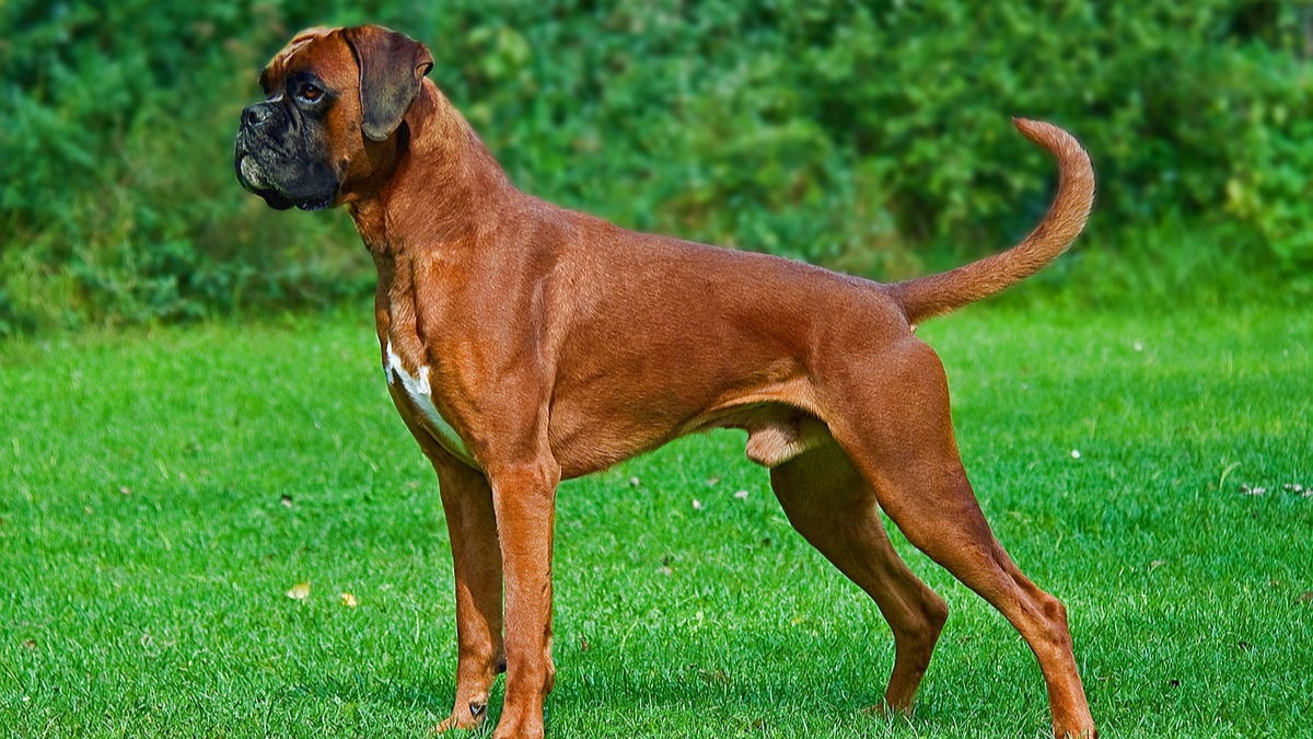The Boxer is a medium-sized, short-haired breed of dog, developed in Germany. The coat is smooth and tight-fitting; colors are fawn or brindled, with or without white markings, and white. Boxers are brachycephalic (they have broad, short skulls), have a square muzzle, mandibular prognathism (an underbite), very strong jaws, and a powerful bite ideal for hanging on to large prey. The Boxer was bred from the Old English Bulldog and the now extinct Bullenbeisser which became extinct by crossbreeding rather than by a decadence of the breed. The purpose of the crossbreeding was the wish to eliminate the excessive white color of the breed, and the necessity of producing thousands of dogs for one of the most popular breeds in the world.