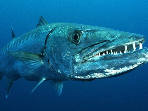 The human knows only a small percentage of the oceans. But in addition to the famous shark, which we all know and have experienced some fear, in all the oceans and rivers of the world there are also truly dangerous fish; not only by their appearances or thorns but also by their aggressiveness and the poison they might have.